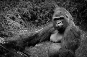 Wow, a male gorilla bigger than my own one – I need to mate with him.